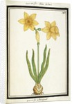 Bouquet Narcissus, c.1700 by French School