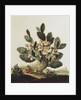 Still life of a cactus by Albert van der Eeckhout