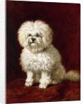 A Poodle by Henriette Ronner-Knip