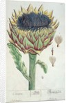 Artichoke by Elizabeth Blackwell