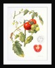 Tomatoes, 1994 by Margaret Ann Eden