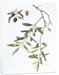 Olive, 1995 by Margaret Ann Eden