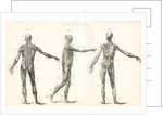 Anatomical study of muscle in the human body by Anonymous