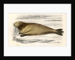 The Walrus, engraved by Paquien by Edouard Travies