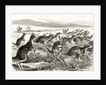 A Kangaroo Battue by English School