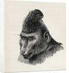 Cynopithecus niger in a placid condition by Mr. Wolf