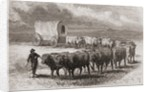 Driving oxen across the great plains of America in 1867 by Ange-Louis Janet