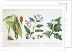 Common Poisonous Plants by English School