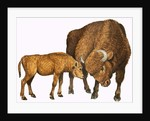 Buffalo and calf by English School