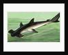 Hammerhead Shark by English School