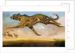 Cheetah by English School