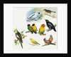 All Sorts of Pet Birds by English School