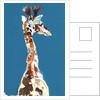 Baby Masai Giraffe, 2018 by Mark Adlington