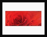 The Rose, in the Festival of Light, 1995 by Myung-Bo Sim