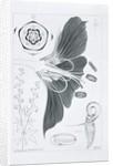 Drawing 38/6 Geranium phaeum, monochrome version, 1909 by Arthur Henry Church
