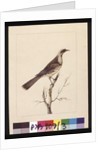 Page 3. Knob, Fronted Bee Eater: Signed l.c. Sarah Smith by Sarah Stone