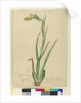 l. Phylidrum lanuginosum, c.1803-06 by John William Lewin