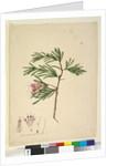 Page 23. Lambertia formosa, c.1803-06 by John William Lewin
