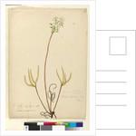 Page 53. Drosera binata, c.1803-06 by John William Lewin