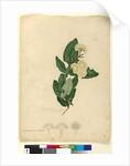 Page 91. Angophora cordifolia, c.1803-06 by John William Lewin