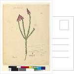 Page 106. Comesperma ericinum, c.1803-06 by John William Lewin
