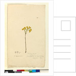 Page 120. Elichrysum, c.1803-06 by John William Lewin