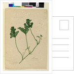 Page 155. Water Melon, c.1803-06 by John William Lewin