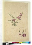 Page 205. Swainsona, c.1803-06 by John William Lewin