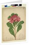 Page 206. Telopea speciosissima, c.1803-06 by John William Lewin