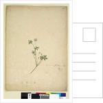 Page 237. Geranium pilosum, c.1803-06 by John William Lewin