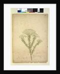 Page 268. Helichrysum diosmifolium/Ozothamnus diosmifolius, c.1803-06 by John William Lewin