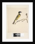 Page 20. Natural size. April Golden Whistler Pachycephala pectoralis, male, 1791-92 by Unknown artist