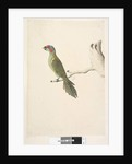 Page 52. Natural size Musk Lorikeet Glossopsitta concinna, 1791-92 by Unknown artist