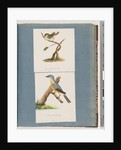Page 62. Red-browed Finch. Loxia astrild. 63. Unidentified bird. Muscicapa flavigastra by Unknown artist