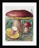 Study of Fungus by Josef Fleischmann