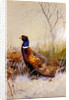 Chinese Ring-necked Pheasants in the Snow, 1910 by Archibald Thorburn