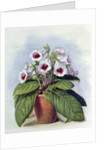 Gloxinia in a pot, c.1860 by Augusta Innes Withers
