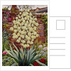 Flowering Yucca by Christopher Ryland