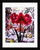 Amaryllis by Snow Window by Christopher Ryland