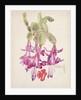 Cactus Flower by Charles Rennie & MacDonald Mackintosh Margaret Mackintosh