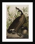 Canada Goose, 1827-1838 by John James Audubon