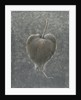 Barringtonia Acutangula by Lincoln Seligman