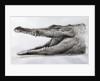 Crocodile by Lincoln Seligman