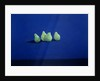 Pears on a Blue Cloth by Lincoln Seligman