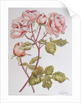 Roses,Abraham Derby by Joan Thewsey