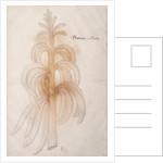 Plantain by John White
