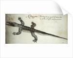 Alligator by John White