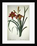 Hemerocallis fulva (lily) by Pierre Joseph Redoute