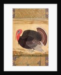 A turkey-cock, brought to Jahangir from Goa in 1612 by Mansur