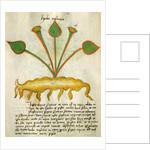 Herba Nastrusio by Italian School